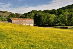 Campo dos botões de ouro & do celeiro Fotografia de Stock Royalty Free