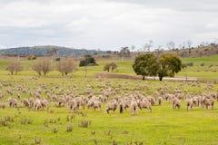 Campo dos carneiros Imagens de Stock Royalty Free