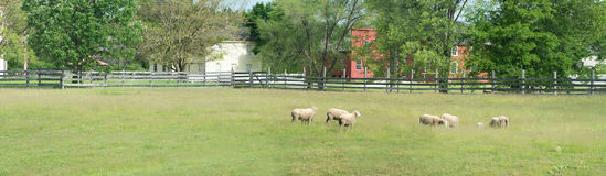 Campo dos carneiros da exploração agrícola que pasta o panorama Fotos de Stock Royalty Free