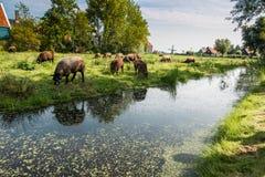 Campo dos carneiros no Zaanse Schans, Países Baixos Foto de Stock Royalty Free