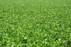 Campo dos feijões de soja Imagem de Stock