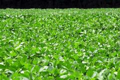 Campo 4 dos feijões de soja Foto de Stock Royalty Free