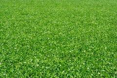 Campo 5 dos feijões de soja Imagens de Stock
