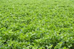 Campo 3 dos feijões de soja Imagem de Stock