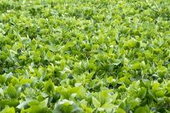 Campo 2 dos feijões de soja Imagens de Stock