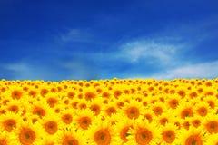 Campo dos girassóis com o céu bonito do indício fotos de stock