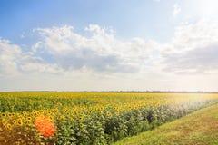 Campo dos girassóis de florescência backlit com brilho do sol Foto de Stock