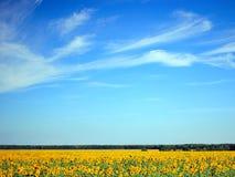 Campo dos girassóis e do céu azul Fotos de Stock Royalty Free