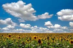 Campo dos girassóis e do céu azul Imagens de Stock Royalty Free