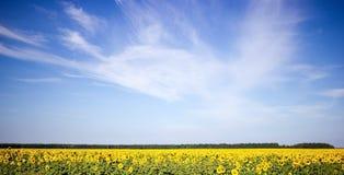 Campo dos girassóis em um fundo do céu azul Imagens de Stock