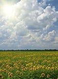 Campo dos girassóis em um fundo do nebuloso Fotografia de Stock Royalty Free