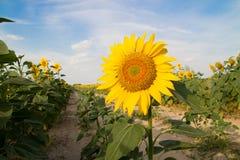 Campo dos girassóis no nascer do sol Imagens de Stock