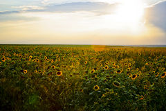 Campo dos girassóis no por do sol Imagem de Stock