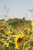 Campo dos girassóis no verão Imagem de Stock Royalty Free