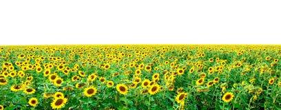 Campo dos girassóis novos brilhantes Imagem de Stock