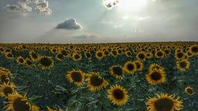 Campo dos girassóis, paisagem da natureza Imagens de Stock