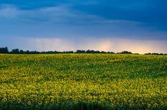 Campo dos girassóis sob céus dramáticos tormentosos fotografia de stock royalty free