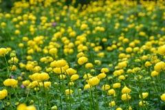 Campo dos globeflowers imagem de stock royalty free