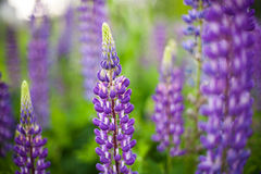 Campo dos Lupines Foto de Stock Royalty Free