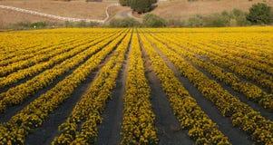 Campo dos Marigolds Fotografia de Stock Royalty Free