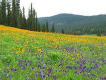 Campo dos pansies e das globo-flores cercados pelo taiga Siberian imagens de stock