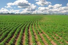 Campo dos patatoes Imagens de Stock Royalty Free