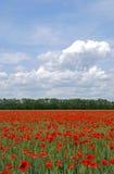Campo dos poppies de florescência Fotografia de Stock Royalty Free
