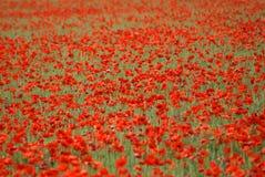 Campo dos poppies de florescência. Fundo Fotografia de Stock