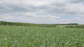 Campo dos tiros verdes do pão tomados com a câmera no movimento O voo da câmera acima da grama verde video estoque