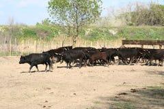 Campo dos touros. Imagens de Stock Royalty Free