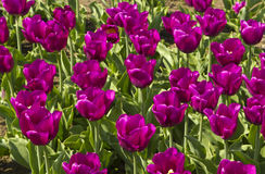 Campo dos tulips Fotos de Stock