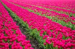 Campo dos Tulips Fotografia de Stock Royalty Free