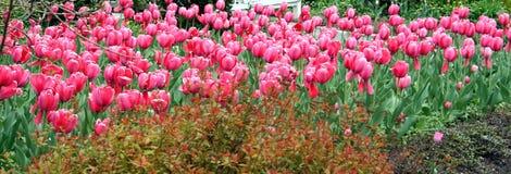 Campo dos Tulips Fotos de Stock