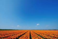 Campo dos tulips foto de stock royalty free