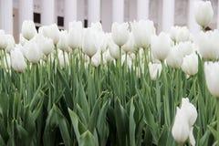 Campo dos tulips brancos Foto de Stock Royalty Free