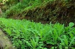 Campo dos vegetais Imagens de Stock Royalty Free