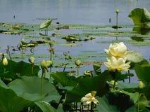 Campo dos waterlilies imagens de stock