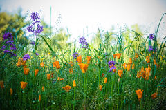 Campo dos Wildflowers Imagens de Stock Royalty Free