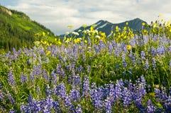 Campo dos wildflowers e das montanhas Fotos de Stock