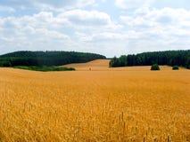 Campo dourado Imagem de Stock Royalty Free