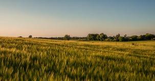 Campo dourado Imagem de Stock