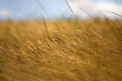 Campo dourado fotografia de stock