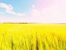 Campo dourado da tarde da cevada The Sun acima dos esmaltes do horizonte sobre um campo novo da cevada Foto de Stock