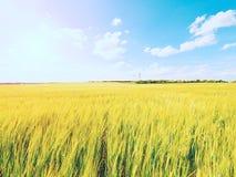 Campo dourado da tarde da cevada The Sun acima dos esmaltes do horizonte sobre um campo novo da cevada Fotografia de Stock