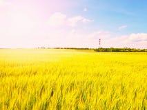 Campo dourado da tarde da cevada The Sun acima dos esmaltes do horizonte sobre um campo novo da cevada Imagens de Stock Royalty Free