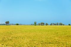 Campo dourado do arroz foto de stock royalty free
