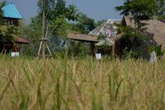 Campo dourado do arroz plantado em Tailândia fotografia de stock
