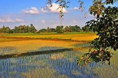Campo dourado do arroz que brilha sob céus azuis e as nuvens brancas fotografia de stock royalty free