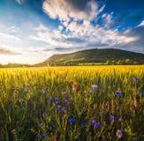 Campo dourado iluminado pelo ajuste Sun Imagens de Stock