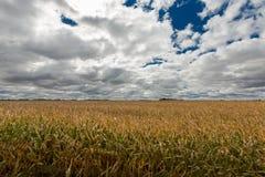 Campo dourado maduro do Zea maio ou do milho Imagens de Stock